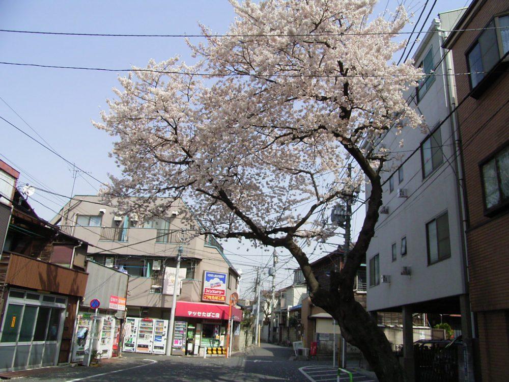 タイトル:伐採前の雪峰院通りの桜 十条村役場庶務係さん(50才)
